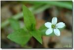 덩굴개별꽃