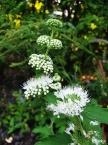흰층꽃나무