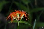 제비동자꽃