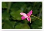 벌레잡이제비꽃
