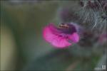 분홍조개나물